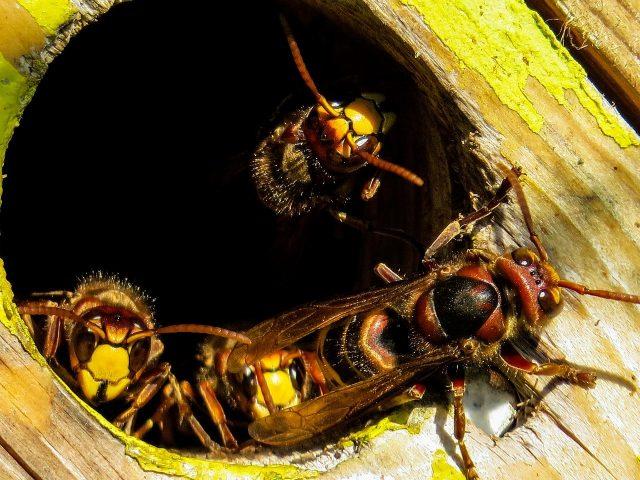 Comment éliminer un nid de frelons de guêpes à bagnols-sur-cèze?